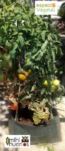 mini huerto-tomatera2